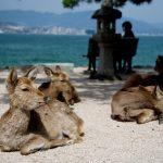 嚴島上的野生鹿