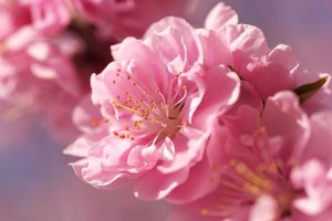 sakura-flower-widescreen-wallpaper-51324-53022-hd-wallpapers